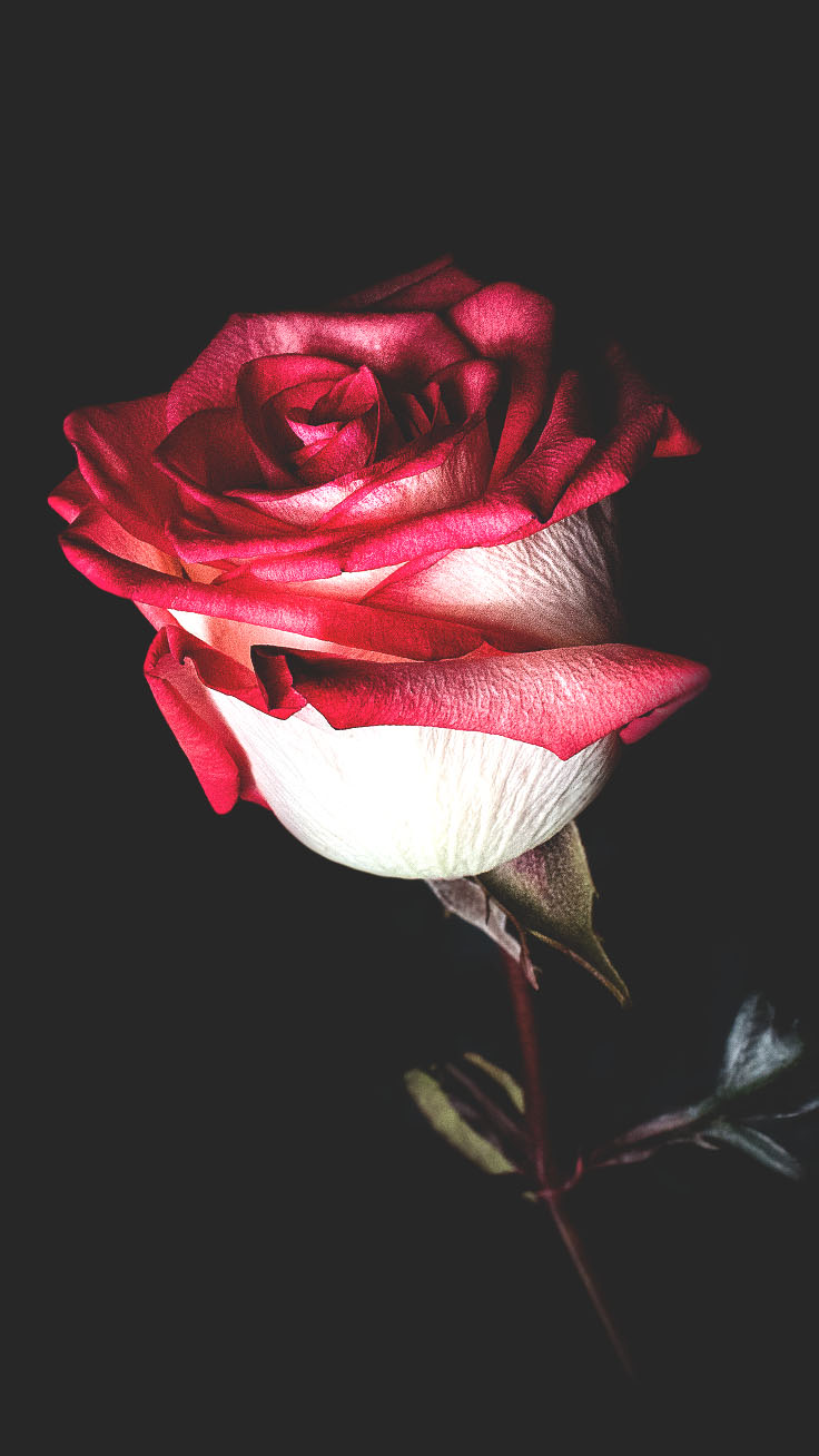 Valentine Red Roses iPhone Wallpapers by Preppy Wallpapers