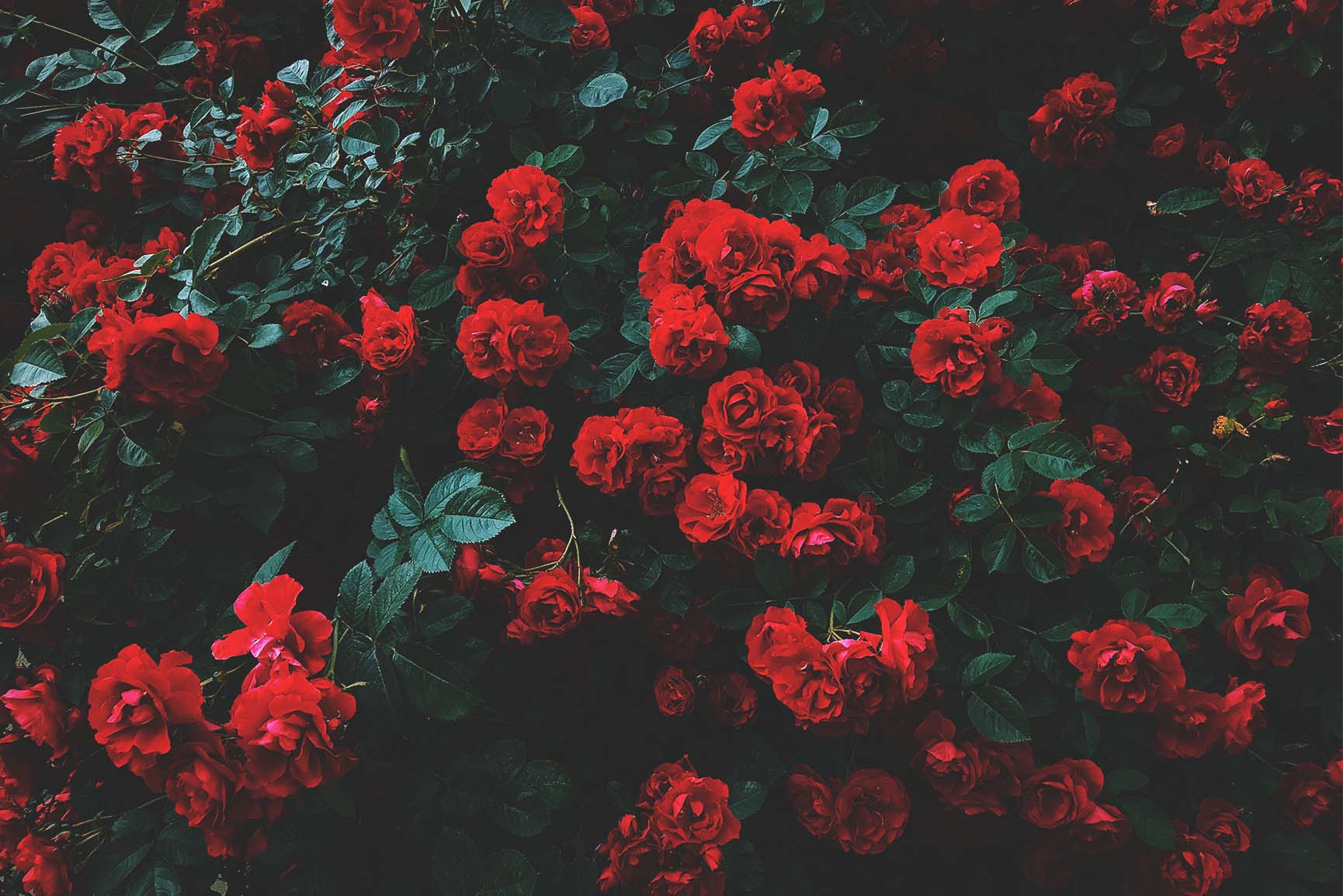 A Dozen Red Roses iPhone Wallpapers for Valentine's Day