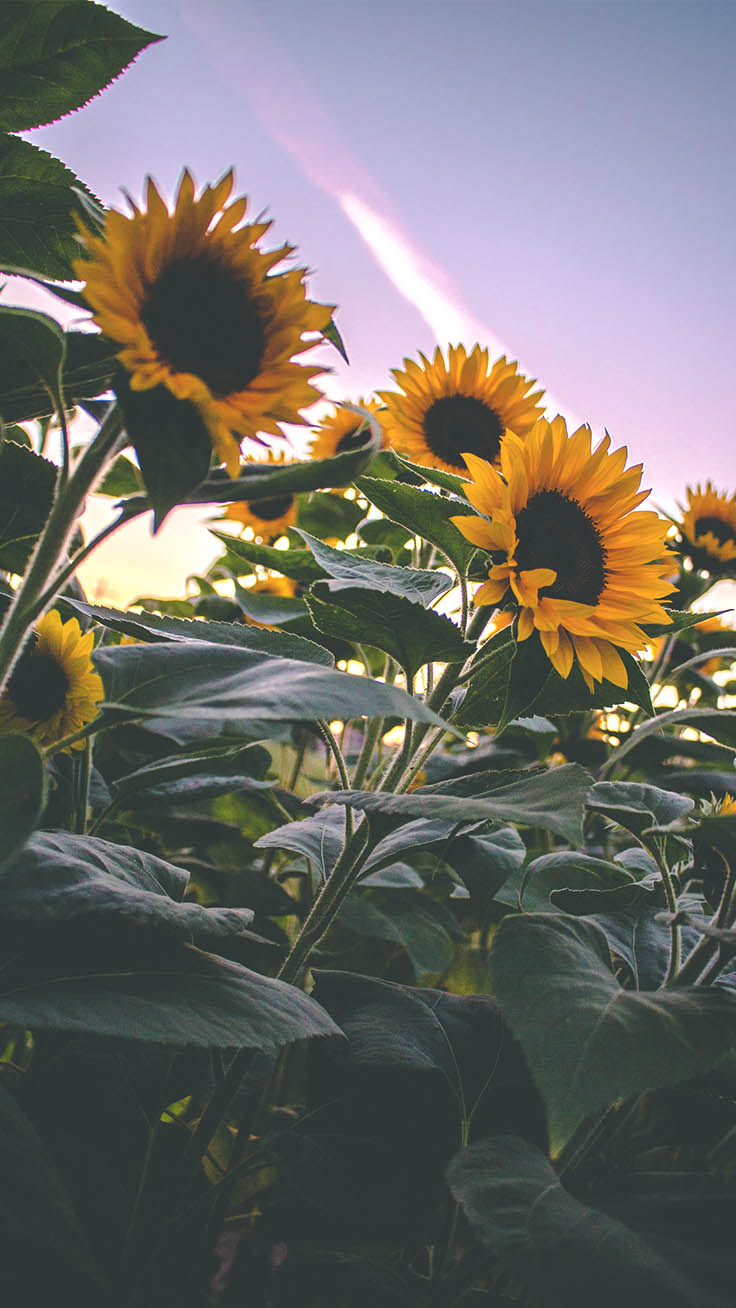 12 Super Pretty Sunflower iPhone Wallpapers | Preppy ...
